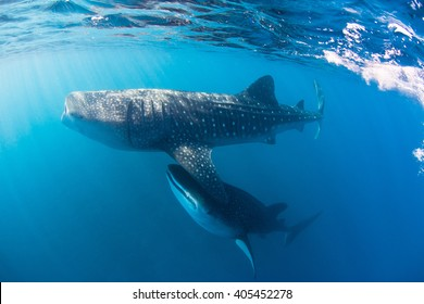 Whale shark swimming through a cloud of plankton and krill filtering the water for food.