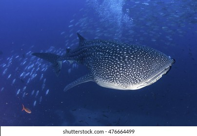 "Whale shark swimming through a school of bait fish in the waters around the dive site ""Dirty Rock"", Cocos Island Costa Rica."