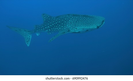 Whale shark swims in blue water.