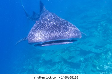Whale shark swims in the Indian ocean near the Maldives