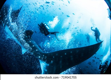 whale shark tail with divers