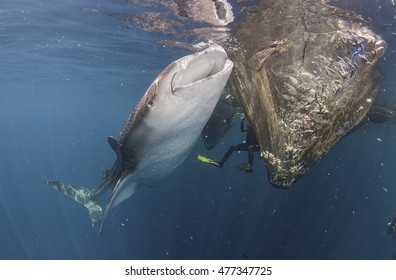 Whale shark trying to feed off fish caught in the nets hanging from a floating fishing platform in the waters of Cenderawasih Bay West Papua, Indonesia.