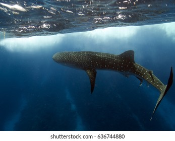 A whale shark turning just below the surface of the sea