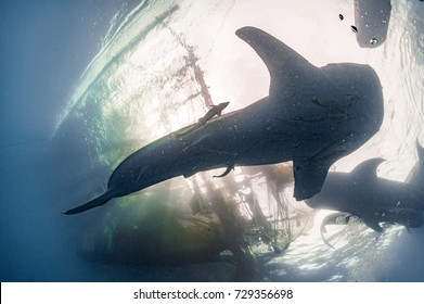 Whale Shark under fisherman platform in Papua Indonesia