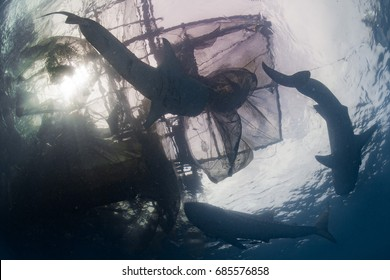Whale Shark underwater approaching a fishing net while eating plancton and small fishes