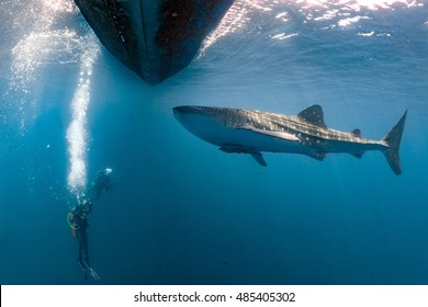 Whale Shark underwater approaching a scuba diver in the deep blue sea seems to attack but it is inoffensive