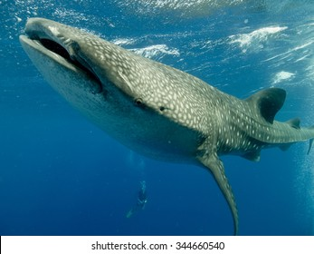 A whale shark underwater swimming towards the camera