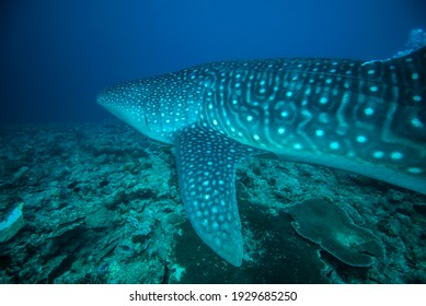 Whale Shark very near looking at you underwater in Maldives.
