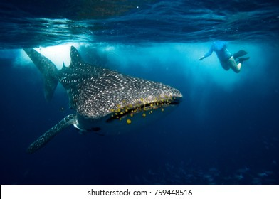 whale shark with yellow pilot fish and snorkeler