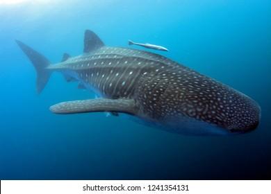 Whale Shark,Rhincodon typus,in Venezuela,Caribbean Sea.