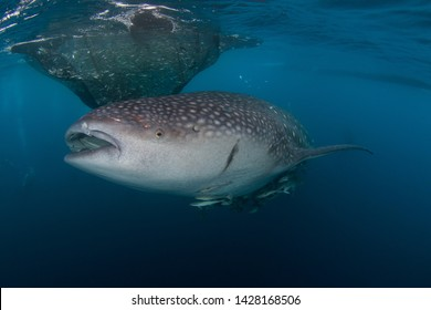 Whale Sharks - biggest fish on earth - feeding on little baitfish that they steal out of a net on a traditional bagan fishing platform in West Papua, Indonesia. Scuba Diving close to the water surface