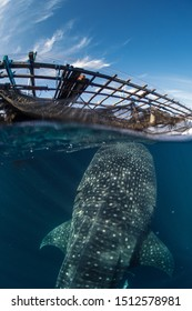 Whale sharks feeding around the fishing nets hanging from floating fishing platforms