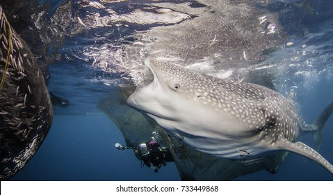 Whale sharks feeding around the fishing nets hanging from floating fishing platforms in Cenderawasih Bay, West Papua, Indonesia.