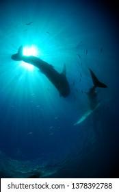 Whale sharks. Island of Cebu, the Philippines.