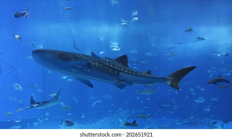 Whale Sharks and lots of fish