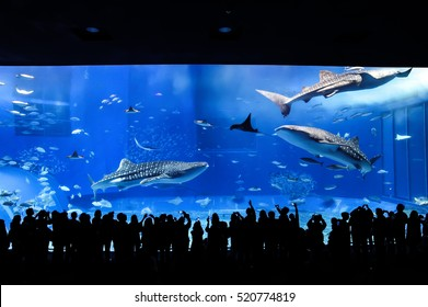 Whale sharks and many kinds of fish in giant fish tank in Okinawa Churaumi Aquarium, Okinawa, Japan
