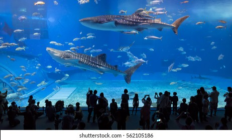 Whale sharks swimming in Okinawa Churaumi Aquarium, Okinawa , Japan - 05 Jan 2017: It was the largest aquarium in the world until it was surpassed by the Georgia Aquarium in 2005.