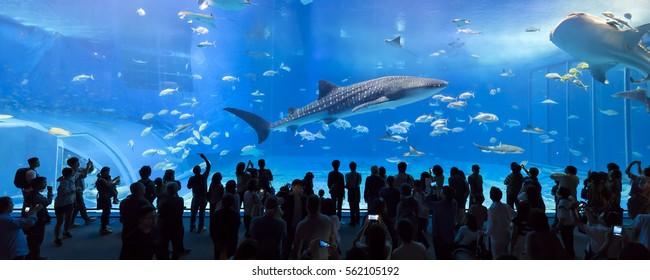 Whale sharks swimming in Okinawa Churaumi Aquarium, Okinawa , Japan - 05 Jan 2017: It was the largest aquarium in the world until it was surpassed by the Georgia Aquarium in 2005.