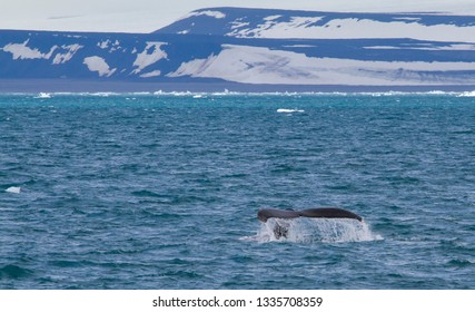 whale swimming off the coast of Svalbard