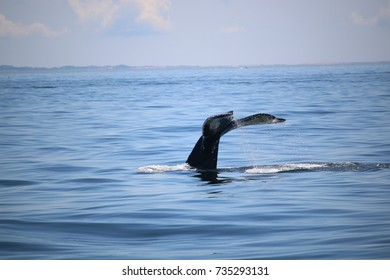 Whale Tail in the Atlantic Ocean