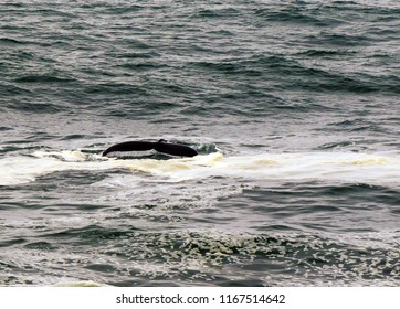 Whale Tail or Fluke in the Pacific Ocean.