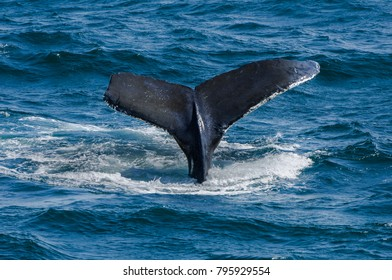 Whale Tail - Humpback - New Hampshire