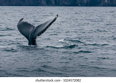 Whale tail  and  Iceland misty morning view - Whale whatching