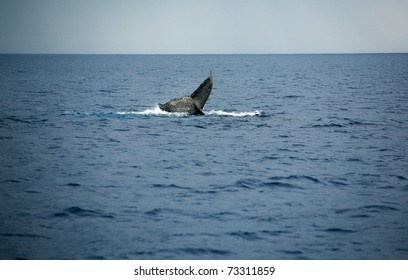 """Whale Tail,  a north pacific humpback whale """"Megaptera novaeangliae"""" a species of baleen whale shows its unique tail as it dives in the warm pacific waters around Maui Hawaii."""