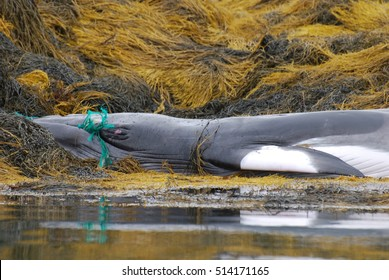 Whale tangled in a fishing net beached on a rocky reef.