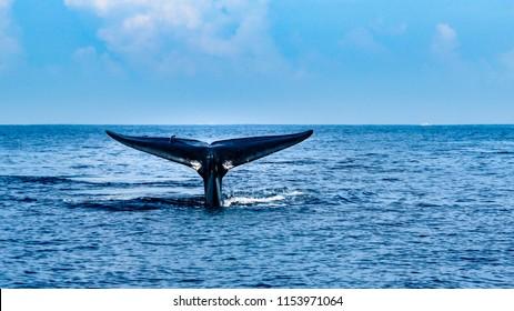 Whale watching by Mirissa bay, southern Sri Lanka.
