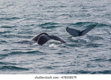 Whale watching. Humpback whale tail with selected focus. Husavik, Iceland.
