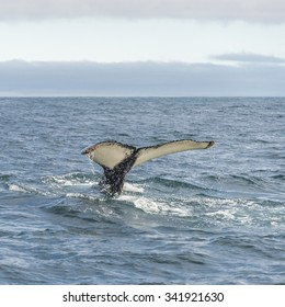 Whale watching safari with humpback whales at Iceland, summer, 2015