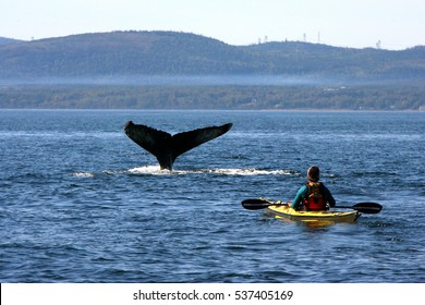 whale watching and tail of a humpback whale in St Lawrence river, Quebec, canada