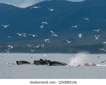Whales bottle net feeding in Juneau Alaska with blue mountains