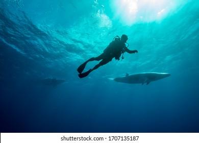 Whales swimming underwater - Dwarf Minke Whale