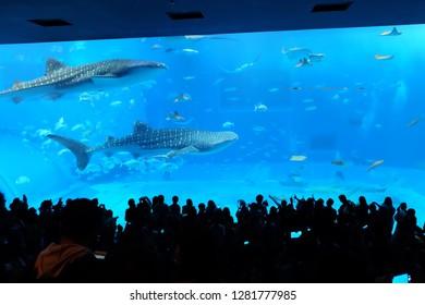 whaleshark in the big tank