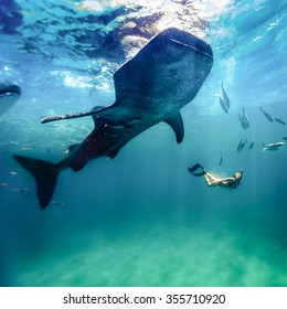 Whaleshark diving at Oslob, Philippines