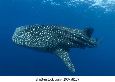 Whaleshark at Losin Thailand