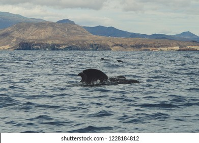 Whalewatching tenerife pilot whale