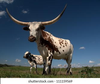 What does the future hold for beef? Longhorn cow and calf home on the range just west of Edmonton, Alberta Canada.  These animals are descendants of stock imported from Texas in the 1960s.>