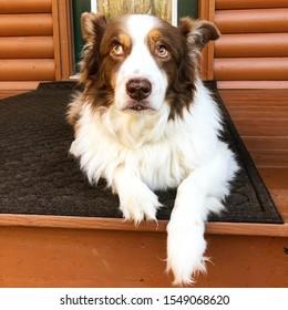Whatever says this australianshepherd dog rolling his eyes