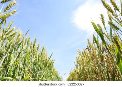The wheat