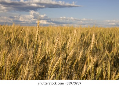 Wheat against a blue sky with clouds