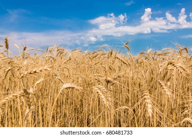 wheat against the sky with clouds, field ripe ears of wheat of golden color.