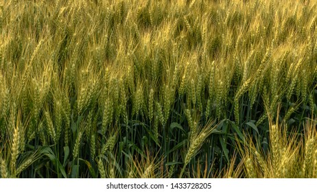 Wheat is almost ready to be harvested.