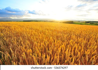 Wheat or Barley  Field During Sunset in Farmland
