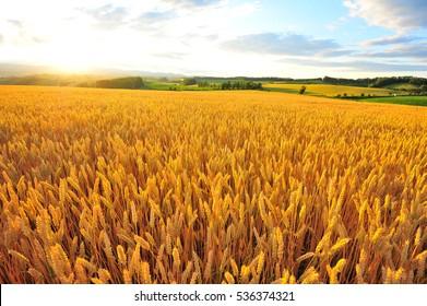 Wheat or Barley  Field During Sunset in Farmland