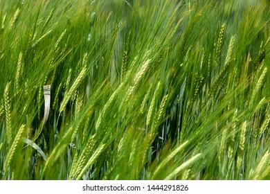 Wheat or Barley in fields