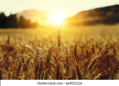 Wheat Beards with sunrise
