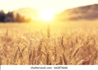 Wheat Beards.Wheat field morning sunrise and yellow sunshine